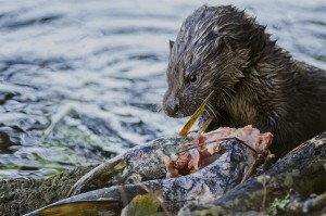 3rd-Place-Otter-with-fish-breakfast-CK-300x199[2]